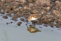 Western sandpiper bird Royalty Free Stock Photo