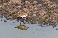 Western sandpiper bird Stock Photos