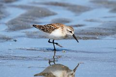Western Sandpiper (Calidris mauri) Royalty Free Stock Photography