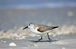 Western Sandpiper in Florida. A small brown shore bird running on a beach in Florida Stock Image