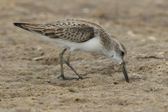 Western Sandpiper Stock Photos