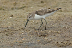 Western Sandpiper Royalty Free Stock Photos