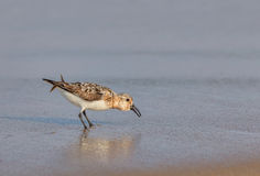 Western Sandpiper Stock Photography