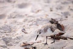 Western Sandpiper shorebirds Calidris mauri. Forage along the ocean shore for food at Barefoot Beach in Bonita Springs, Florida Stock Image