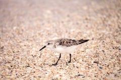 Western Sandpiper shorebirds Calidris mauri. Forage along the ocean shore for food at Barefoot Beach in Bonita Springs, Florida Stock Images