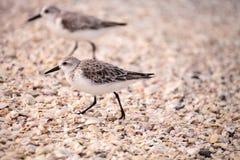 Western Sandpiper shorebirds Calidris mauri. Forage along the ocean shore for food at Barefoot Beach in Bonita Springs, Florida Royalty Free Stock Image