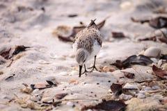 Western Sandpiper shorebirds Calidris mauri. Forage along the ocean shore for food at Barefoot Beach in Bonita Springs, Florida Royalty Free Stock Photos