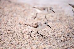 Western Sandpiper shorebirds Calidris mauri. Forage along the ocean shore for food at Barefoot Beach in Bonita Springs, Florida Stock Photography