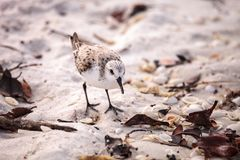 Western Sandpiper shorebirds Calidris mauri. Forage along the ocean shore for food at Barefoot Beach in Bonita Springs, Florida Stock Photos