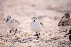 Western Sandpiper shorebirds Calidris mauri. Forage along the ocean shore for food at Barefoot Beach in Bonita Springs, Florida Stock Photo