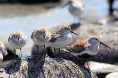 Western Sandpipers Stock Images