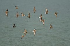 Western Sandpipers flying over the lake. Royalty Free Stock Image