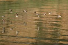 Western Sandpipers flying over the lake. Royalty Free Stock Photos