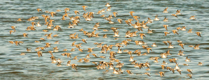 Western Sandpipers Royalty Free Stock Image