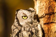 Western Screech Owl Stock Image