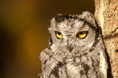 Western Screech Owl Royalty Free Stock Image