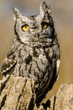 Western Screech Owl in Autumn Setting Stock Photography