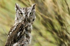 Western Screech Owl Royalty Free Stock Image