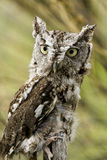 Western Screech Owl Royalty Free Stock Photography