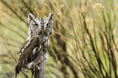 Western Screech Owl Royalty Free Stock Images