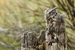 Western Screech Owl Stock Photos