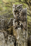 Western Screech Owl. Close up of western screech owl in captivity Stock Images