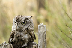 Western Screech Owl Royalty Free Stock Photo