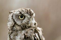 Western Screech Owl Stock Photo