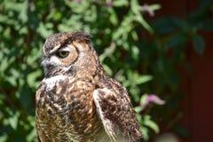 Western Screech Owl. Head shot of Screech Owl, Megascops kennicottii, in front of a barn in California Stock Images