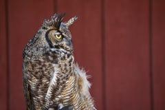 Western Screech Owl. Headshot of Western Screech Owl, Megascops kennicottii, against red barn background Stock Photos