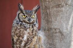 Western Screech Owl. Headshot of Western Screech Owl, Megascops kennicottii, against red barn background Royalty Free Stock Photo