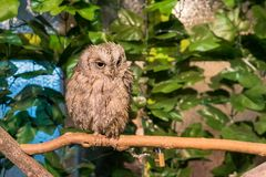 Western screech owl with large eyes looking side royalty free stock photos