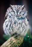 Western Screech Owl (lat. otus kennicotti) Stock Photography
