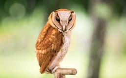 Western Screech owl. Megascops kennicottii Royalty Free Stock Image