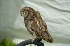 Western Screech Owl Royalty Free Stock Photos