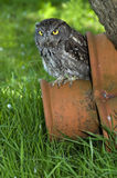 Western Screech Owl. The Western screech owl (Megascops kennicottii) is a small owl native to North and Central America Stock Photos
