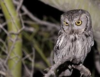 Western screech owl peering at the ground royalty free stock image
