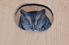 Western Screech-Owl Peering Out From Within a Nesting Box Royalty Free Stock Images