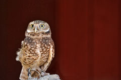 Western Screech Owl. Rescued Western Screech Owl, Megascops kennicottii, against red barn background Royalty Free Stock Image