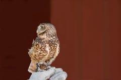 Western Screech Owl Stock Photography