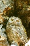 Western screech owl sits in an oak tree Stock Photo