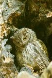 Western screech owl sits in an oak tree Stock Photography