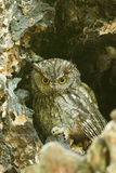 Western screech owl sits in an oak tree stock image