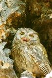 Western screech owl sits in an oak tree Stock Photos