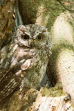 Western screech owl sits in an oak tree Royalty Free Stock Images