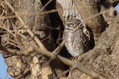 Western Screech Owl starring from nest royalty free stock photo