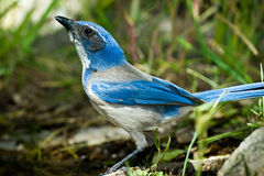 Western Scrub Jay. Standing on Log in Grassy Area Royalty Free Stock Photo