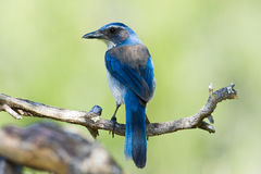 Western Scrub Jay. Perched on Tree Branch Stock Image
