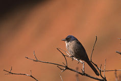 Western Scrub Jay Royalty Free Stock Photography
