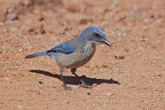 Western Scrub Jay Stock Photography